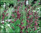 Cardinal Flower, Pond Plants Direct - Buy Aquatic Plants, Water Lilies, Aquatic Shelf Plants, Floating Plants, Flowering Pond Plants, Low Growing Pond Plants, Pickerel Plants, Rush Plants, Cattail, Pond Snails, Tadpoles, Koi Fish, Arrowhead, Iris, Water Hyacinth, Water Lettuce, Anacharis, Hornwort, Pond Supplies