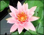 Colorado, Pond Plants Direct - Buy Aquatic Plants, Water Lilies, Aquatic Shelf Plants, Floating Plants, Flowering Pond Plants, Low Growing Pond Plants, Pickerel Plants, Rush Plants, Cattail, Pond Snails, Tadpoles, Koi Fish, Arrowhead, Iris, Water Hyacinth, Water Lettuce, Anacharis, Hornwort, Pond Supplies