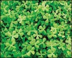 Dwarf Clover, Pond Plants Direct - Buy Aquatic Plants, Water Lilies, Aquatic Shelf Plants, Floating Plants, Flowering Pond Plants, Low Growing Pond Plants, Pickerel Plants, Rush Plants, Cattail, Pond Snails, Tadpoles, Koi Fish, Arrowhead, Iris, Water Hyacinth, Water Lettuce, Anacharis, Hornwort, Pond Supplies
