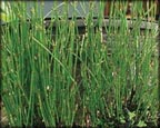 Dwarf Horsetail Rush, Pond Plants Direct - Buy Aquatic Plants, Water Lilies, Aquatic Shelf Plants, Floating Plants, Flowering Pond Plants, Low Growing Pond Plants, Pickerel Plants, Rush Plants, Cattail, Pond Snails, Tadpoles, Koi Fish, Arrowhead, Iris, Water Hyacinth, Water Lettuce, Anacharis, Hornwort, Pond Supplies