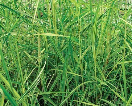 Gold Variegated Reed