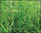 Gold Variegated Reed, Pond Plants Direct - Buy Aquatic Plants, Water Lilies, Aquatic Shelf Plants, Floating Plants, Flowering Pond Plants, Low Growing Pond Plants, Pickerel Plants, Rush Plants, Cattail, Pond Snails, Tadpoles, Koi Fish, Arrowhead, Iris, Water Hyacinth, Water Lettuce, Anacharis, Hornwort, Pond Supplies
