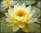Yellow Water Lilies, Water Plants, Pond Plants, Aquatic Plants.