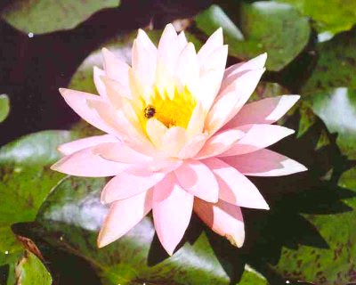Pond Plants Direct - Buy Aquatic Plants, Water Lilies, Aquatic Shelf Plants, Floating Plants, Flowering Pond Plants, Low Growing Pond Plants, Pickerel Plants, Rush Plants, Cattail, Pond Snails, Tadpoles, Koi Fish, Arrowhead, Iris, Water Hyacinth, Water Lettuce, Anacharis, Hornwort, Pond Supplies