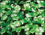 Pennywort, Pond Plants Direct - Buy Aquatic Plants, Water Lilies, Aquatic Shelf Plants, Floating Plants, Flowering Pond Plants, Low Growing Pond Plants, Pickerel Plants, Rush Plants, Cattail, Pond Snails, Tadpoles, Koi Fish, Arrowhead, Iris, Water Hyacinth, Water Lettuce, Anacharis, Hornwort, Pond Supplies