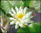 Perry's Double White, Pond Plants Direct - Buy Aquatic Plants, Water Lilies, Aquatic Shelf Plants, Floating Plants, Flowering Pond Plants, Low Growing Pond Plants, Pickerel Plants, Rush Plants, Cattail, Pond Snails, Tadpoles, Koi Fish, Arrowhead, Iris, Water Hyacinth, Water Lettuce, Anacharis, Hornwort, Pond Supplies