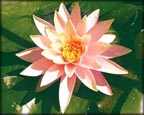 Changeable Water Lily, Water Plants, Pond Plants, Aquatic Plants.