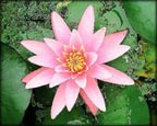 Pink Sensation, Pond Plants Direct - Buy Aquatic Plants, Water Lilies, Aquatic Shelf Plants, Floating Plants, Flowering Pond Plants, Low Growing Pond Plants, Pickerel Plants, Rush Plants, Cattail, Pond Snails, Tadpoles, Koi Fish, Arrowhead, Iris, Water Hyacinth, Water Lettuce, Anacharis, Hornwort, Pond Supplies