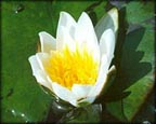 Snow Princess, Pond Plants Direct - Buy Aquatic Plants, Water Lilies, Aquatic Shelf Plants, Floating Plants, Flowering Pond Plants, Low Growing Pond Plants, Pickerel Plants, Rush Plants, Cattail, Pond Snails, Tadpoles, Koi Fish, Arrowhead, Iris, Water Hyacinth, Water Lettuce, Anacharis, Hornwort, Pond Supplies