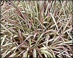 Strawberries and Cream Ribbon Grass, Pond Plants Direct - Buy Aquatic Plants, Water Lilies, Aquatic Shelf Plants, Floating Plants, Flowering Pond Plants, Low Growing Pond Plants, Pickerel Plants, Rush Plants, Cattail, Pond Snails, Tadpoles, Koi Fish, Arrowhead, Iris, Water Hyacinth, Water Lettuce, Anacharis, Hornwort, Pond Supplies