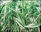 Variegated Giant Reed, Pond Plants Direct - Buy Aquatic Plants, Water Lilies, Aquatic Shelf Plants, Floating Plants, Flowering Pond Plants, Low Growing Pond Plants, Pickerel Plants, Rush Plants, Cattail, Pond Snails, Tadpoles, Koi Fish, Arrowhead, Iris, Water Hyacinth, Water Lettuce, Anacharis, Hornwort, Pond Supplies