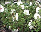White Water Hibiscus, Pond Plants Direct - Buy Aquatic Plants, Water Lilies, Aquatic Shelf Plants, Floating Plants, Flowering Pond Plants, Low Growing Pond Plants, Pickerel Plants, Rush Plants, Cattail, Pond Snails, Tadpoles, Koi Fish, Arrowhead, Iris, Water Hyacinth, Water Lettuce, Anacharis, Hornwort, Pond Supplies