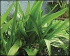 Bog Lily, Pond Plants Direct - Buy Aquatic Plants, Water Lilies, Aquatic Shelf Plants, Floating Plants, Flowering Pond Plants, Low Growing Pond Plants, Pickerel Plants, Rush Plants, Cattail, Pond Snails, Tadpoles, Koi Fish, Arrowhead, Iris, Water Hyacinth, Water Lettuce, Anacharis, Hornwort, Pond Supplies