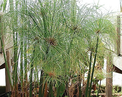 Buy dwarf giant papyrus for Using pond water for plants