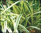Variegated Spider Lily, Pond Plants Direct - Buy Aquatic Plants, Water Lilies, Aquatic Shelf Plants, Floating Plants, Flowering Pond Plants, Low Growing Pond Plants, Pickerel Plants, Rush Plants, Cattail, Pond Snails, Tadpoles, Koi Fish, Arrowhead, Iris, Water Hyacinth, Water Lettuce, Anacharis, Hornwort, Pond Supplies