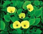 Water Poppy, Pond Plants Direct - Buy Aquatic Plants, Water Lilies, Aquatic Shelf Plants, Floating Plants, Flowering Pond Plants, Low Growing Pond Plants, Pickerel Plants, Rush Plants, Cattail, Pond Snails, Tadpoles, Koi Fish, Arrowhead, Iris, Water Hyacinth, Water Lettuce, Anacharis, Hornwort, Pond Supplies