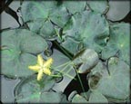 Yellow Snowflake, Pond Plants Direct - Buy Aquatic Plants, Water Lilies, Aquatic Shelf Plants, Floating Plants, Flowering Pond Plants, Low Growing Pond Plants, Pickerel Plants, Rush Plants, Cattail, Pond Snails, Tadpoles, Koi Fish, Arrowhead, Iris, Water Hyacinth, Water Lettuce, Anacharis, Hornwort, Pond Supplies